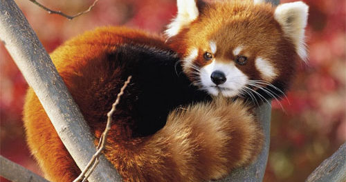 Save Red Panda, Save North East