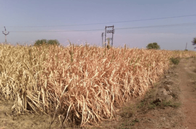 Is Sugarcane  the Scapegoat or the Culprit